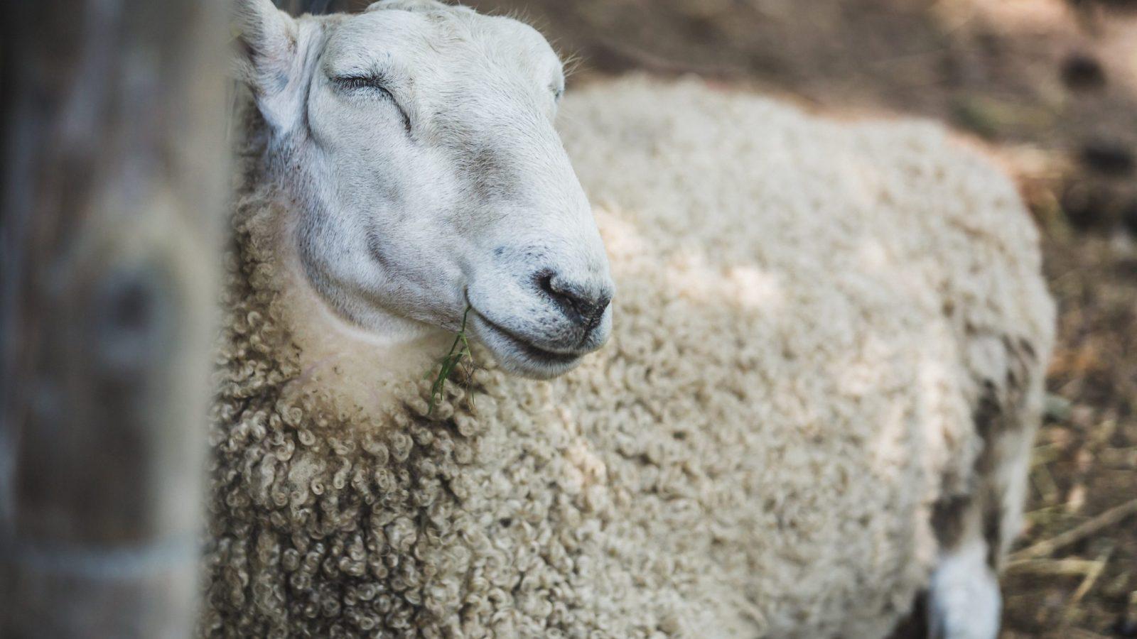 farm-sheep-resting
